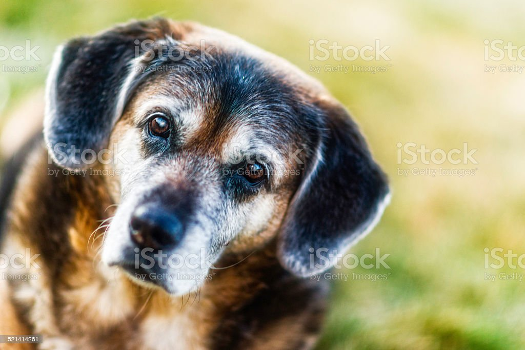 Elderly dog looking at camera stock photo