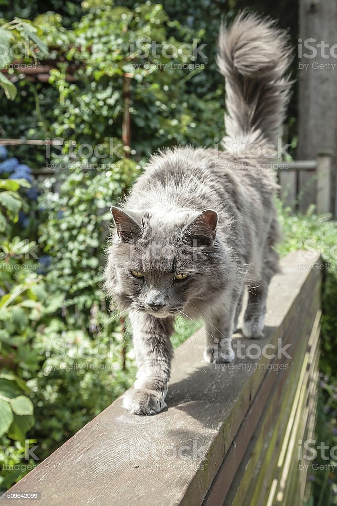 Elderly Grey Long Haired Cat Walking Carefully Atop Fence stock photo