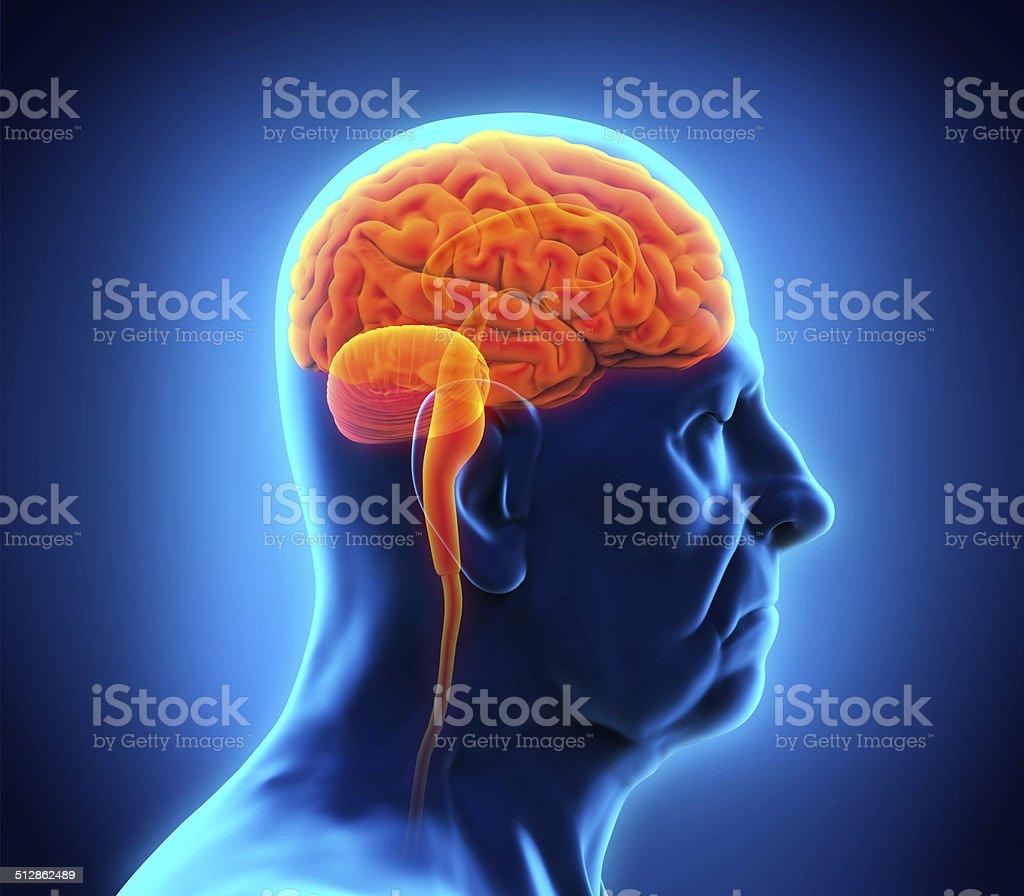 Elderly Male Brain Anatomy stock photo