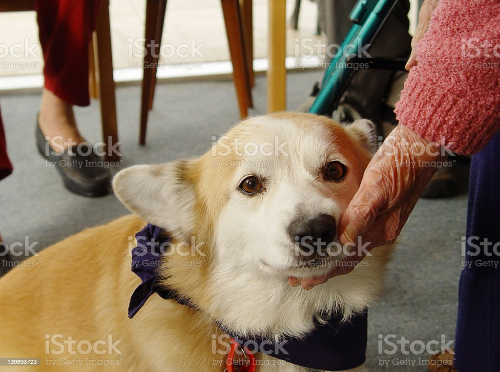 Elderly person petting a therapy dog stock photo