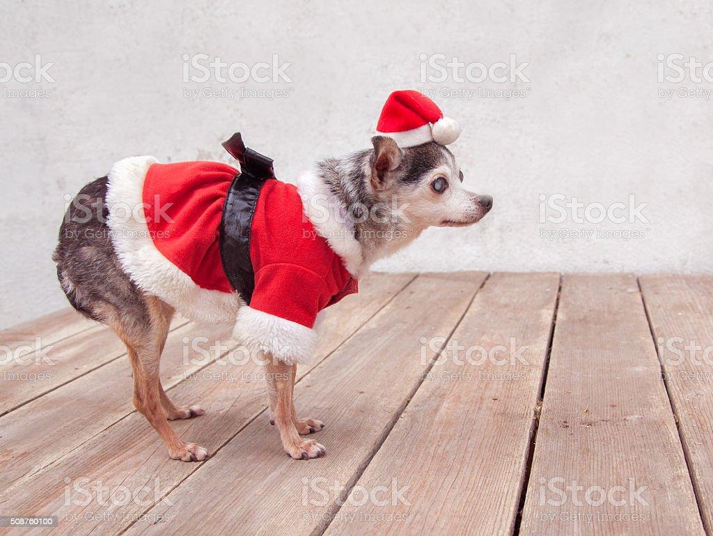 Elderly senior chihuahua  Dog wears santa suit and hat stock photo