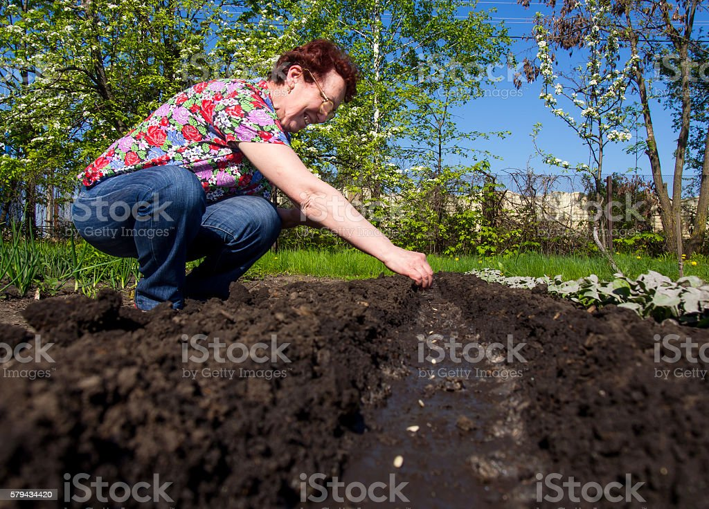 Elderly woman are planted seeds in open ground stock photo
