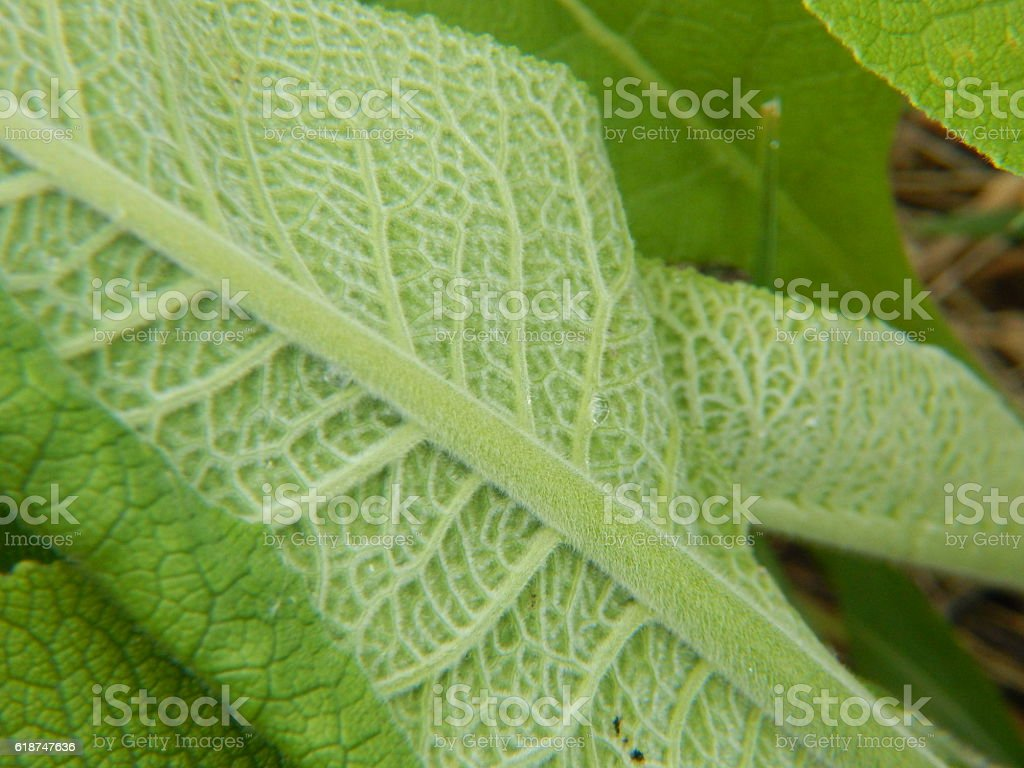 Elecampane Leaf Underside stock photo