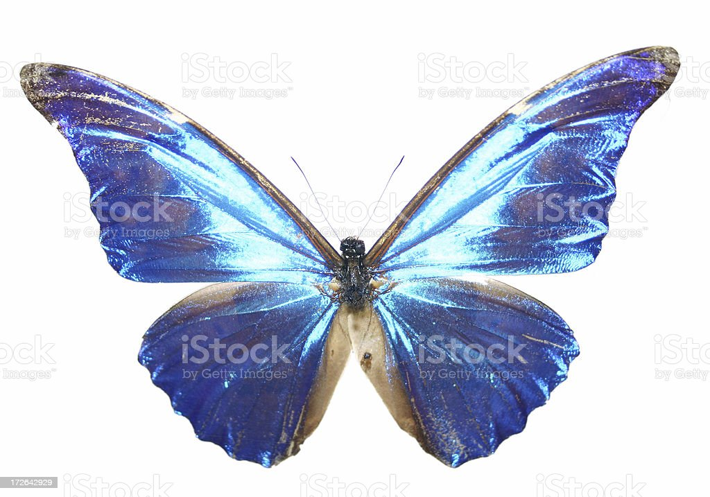 Electric Blue Butterfly royalty-free stock photo