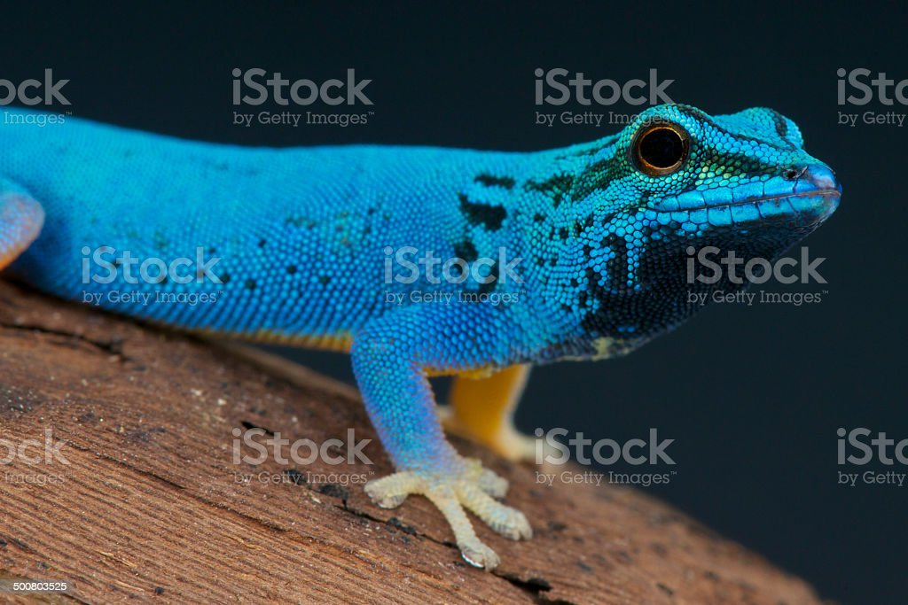 Electric blue day gecko / Lygodactylus williamsi stock photo