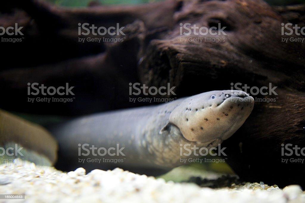 Electric eel stock photo