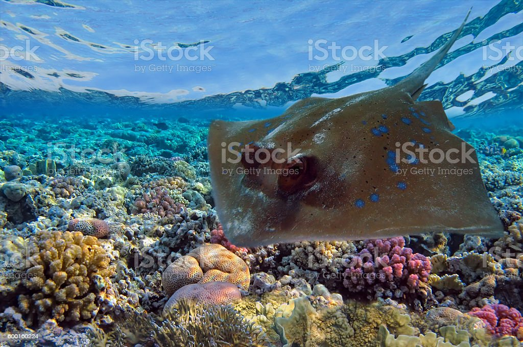 Electric rays or Torpediniformes swimming underwater Red Sea stock photo