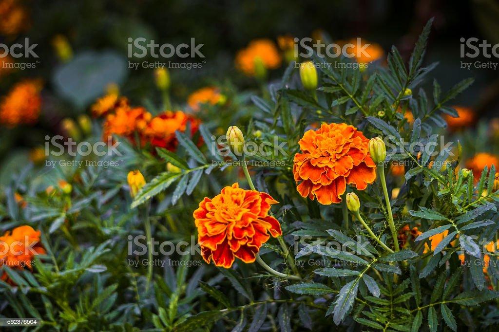 Elegant autumn marigolds flowers stock photo
