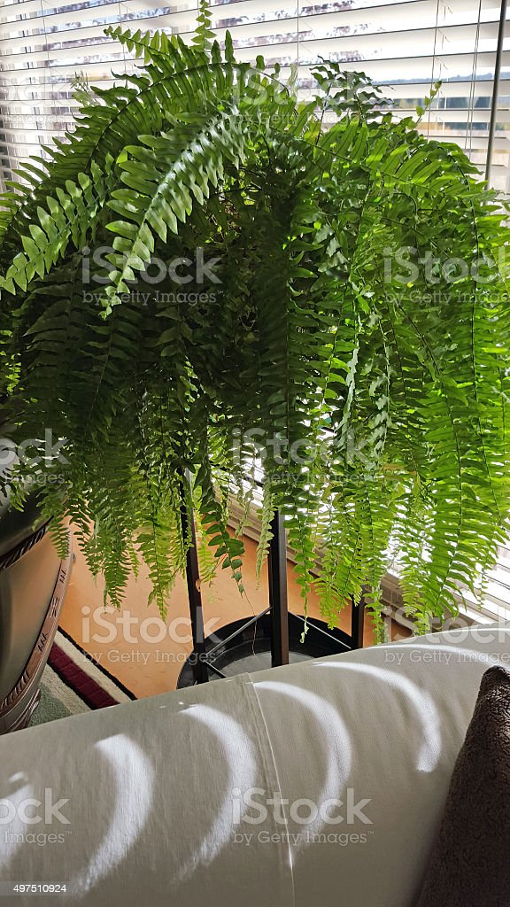 Elegant Boston Fern In The Living Room Window stock photo