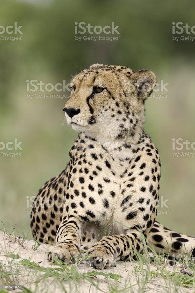 Elegant Cheetah royalty-free stock photo