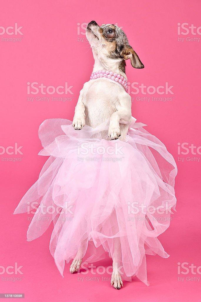 Elegant dog dancing stock photo