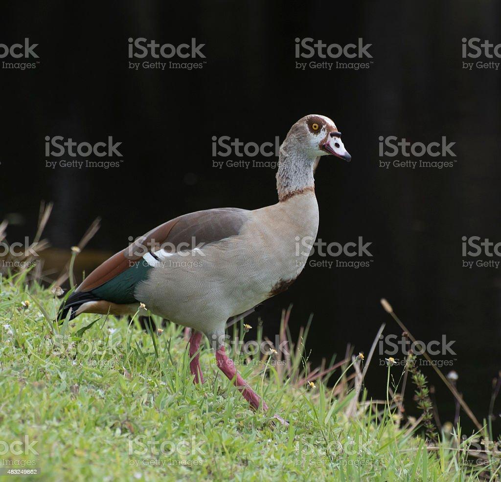 Elegant Egyptian  Goose stock photo