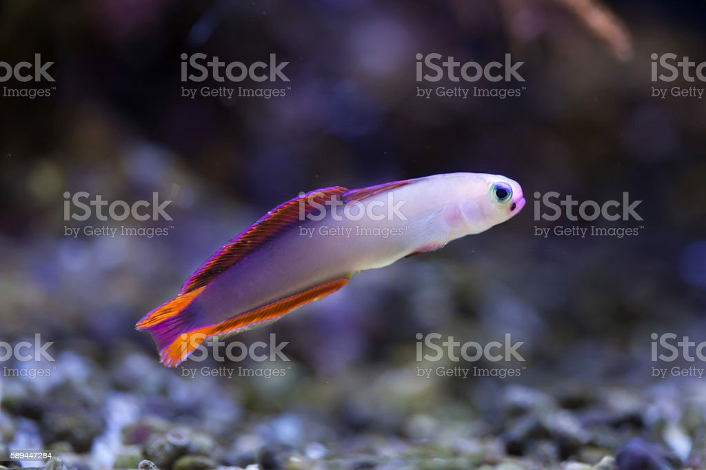 Elegant firefish (Nemateleotris decora). stock photo