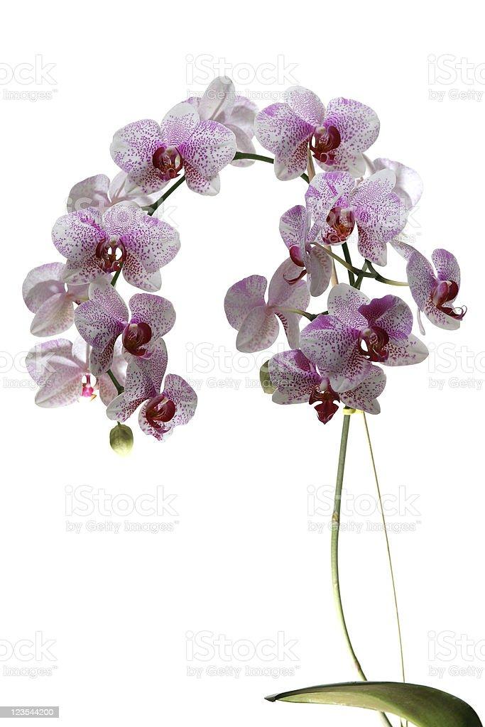 Elegant orchid royalty-free stock photo