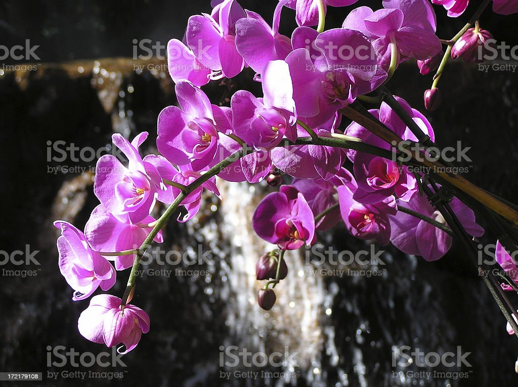 Elegant orchids against a dark blured waterfall background royalty-free stock photo