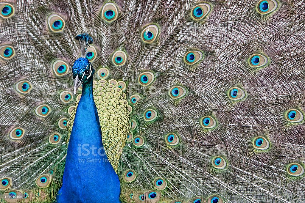 Élégante Peacock photo libre de droits