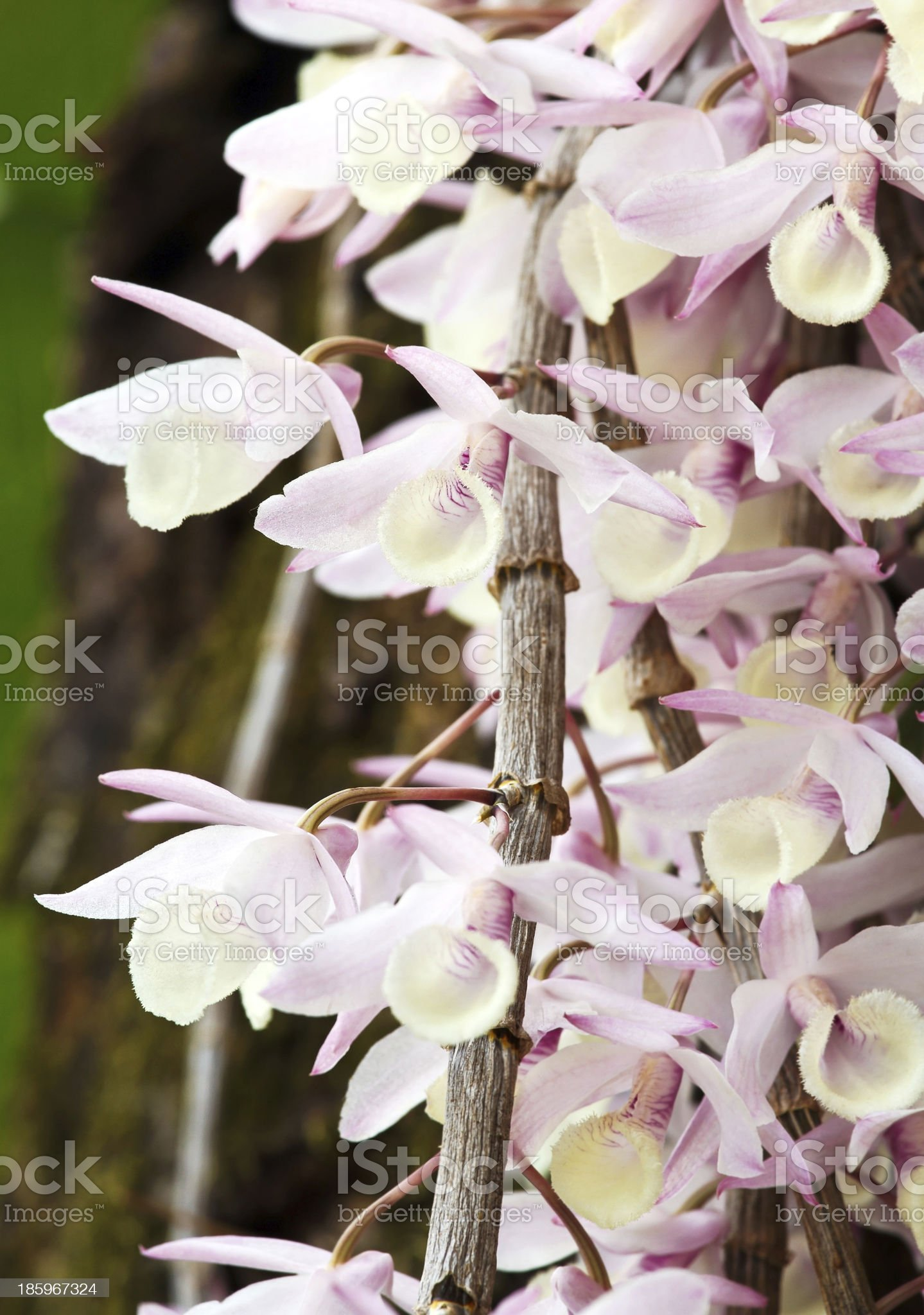 Elegant purple and white orchids royalty-free stock photo