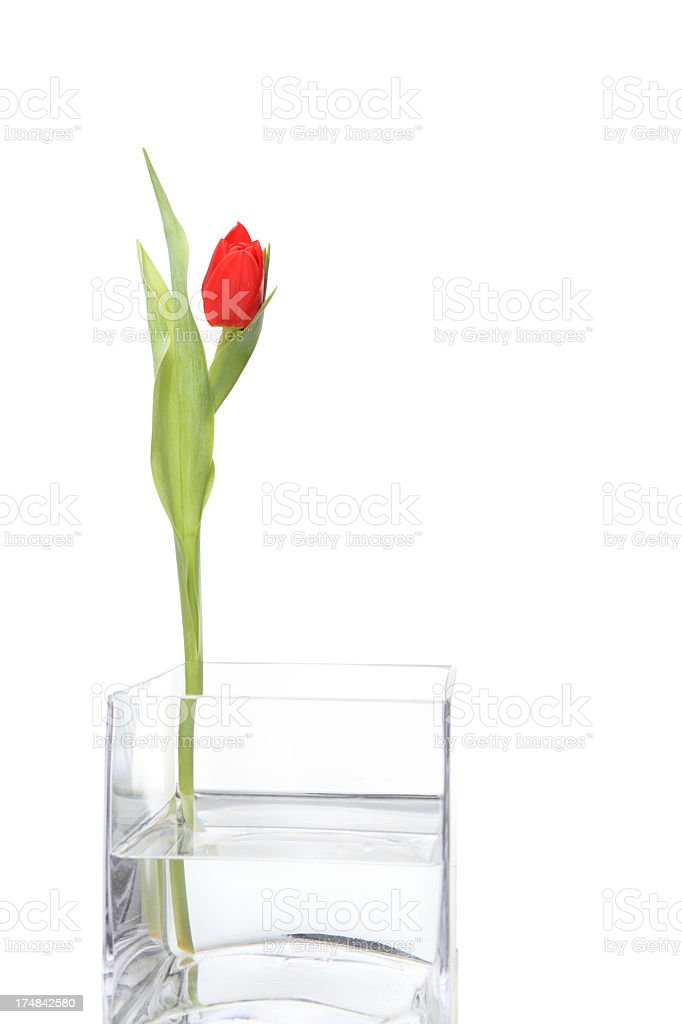 elegant red tulip in square glass vase isolated on white royalty-free stock photo