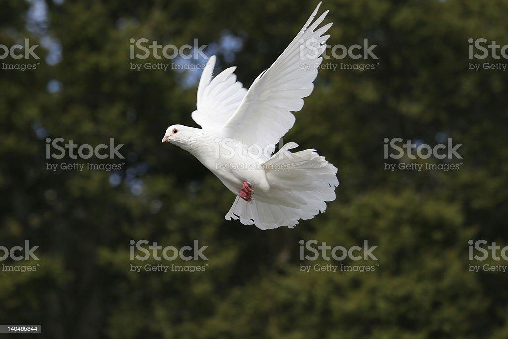 Elegant white dove in flight stock photo