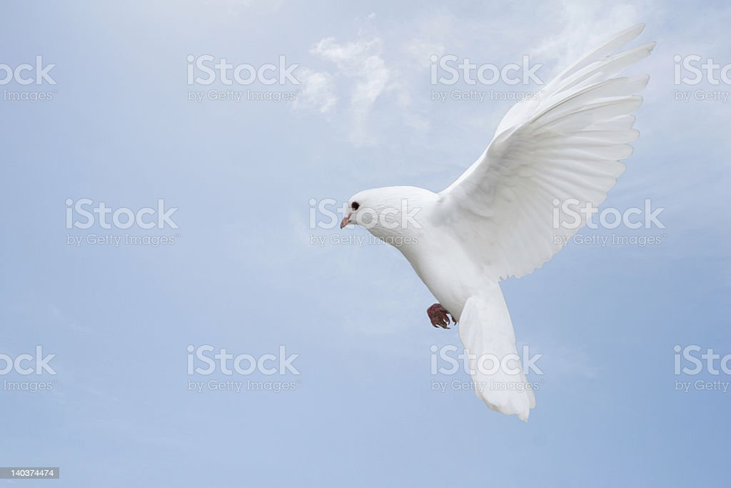 Elegant white dove stock photo