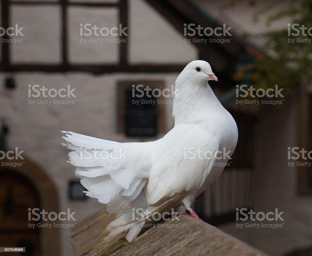 Elegant white Fantail pigeon proudly sitting on a stone wall stock photo