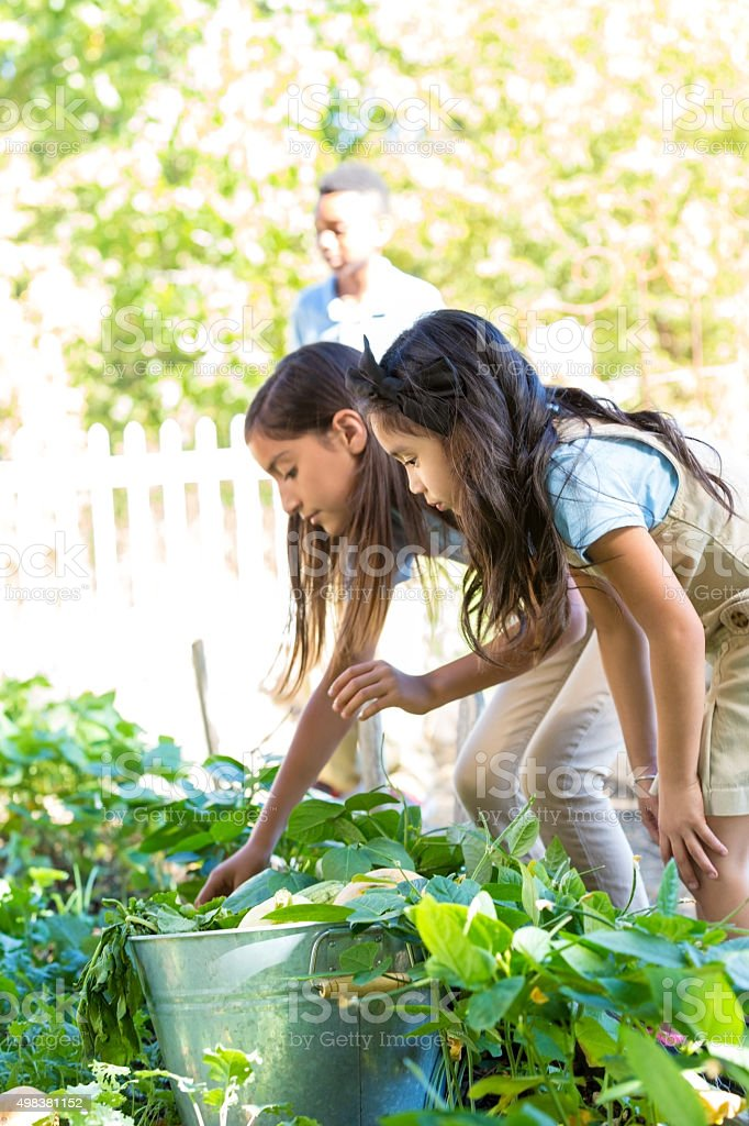 Elementary school girls picking vegetables from school garden stock photo