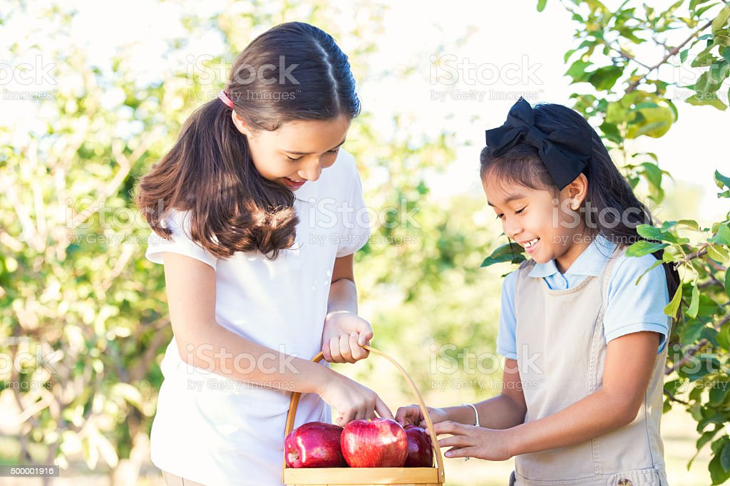 Elementary schoolgirls picking apples during orchard field trip stock photo