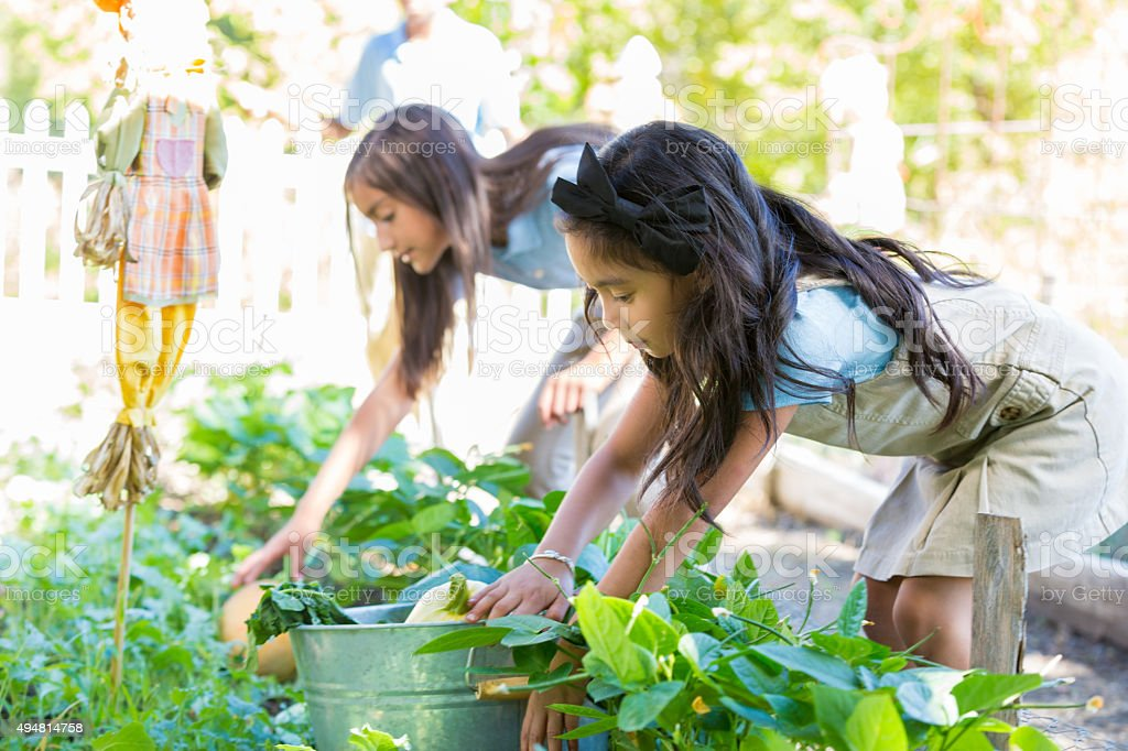 Elementary students picking vegetables in garden during field trip stock photo