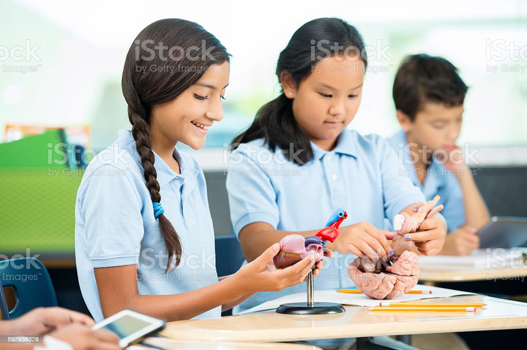 Elementary students study models of the human anatomy stock photo