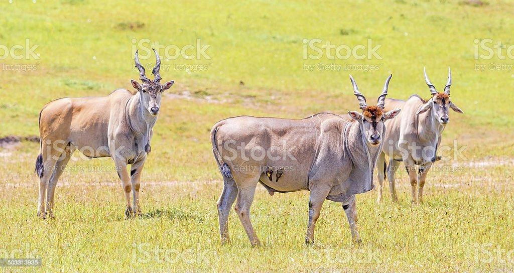 Elenantilope, eland antelope, Taurotragus oryx royalty-free stock photo