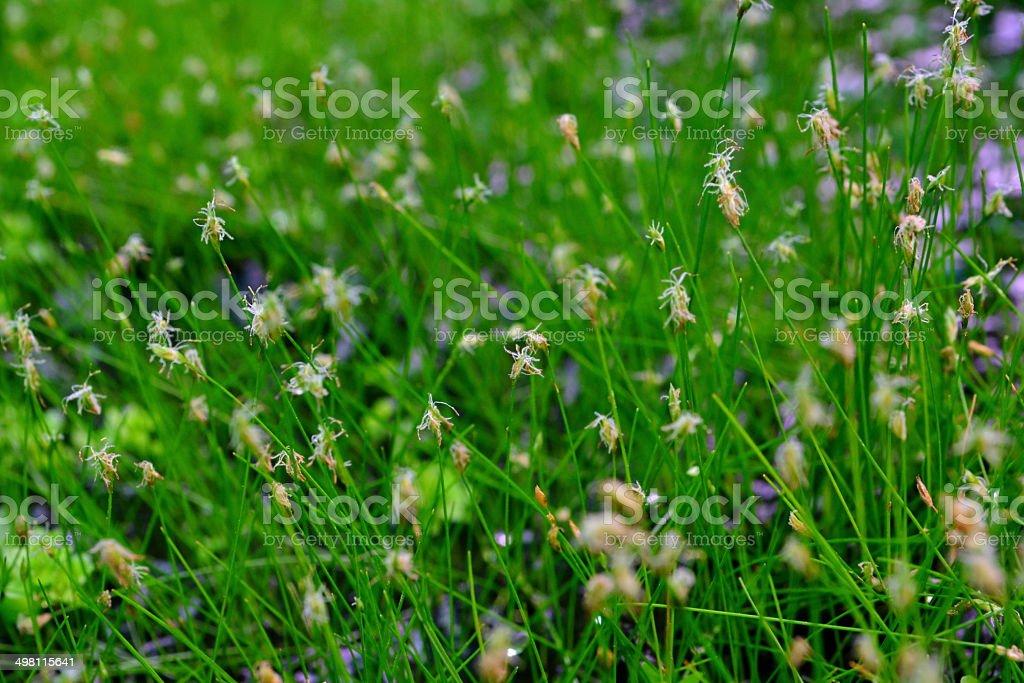 Eleocharis parvula royalty-free stock photo