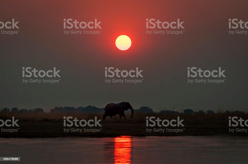 Elepanht at sunset in the Chobe National Park in Botswana stock photo