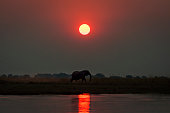 Elepanht at sunset in the Chobe National Park in Botswana