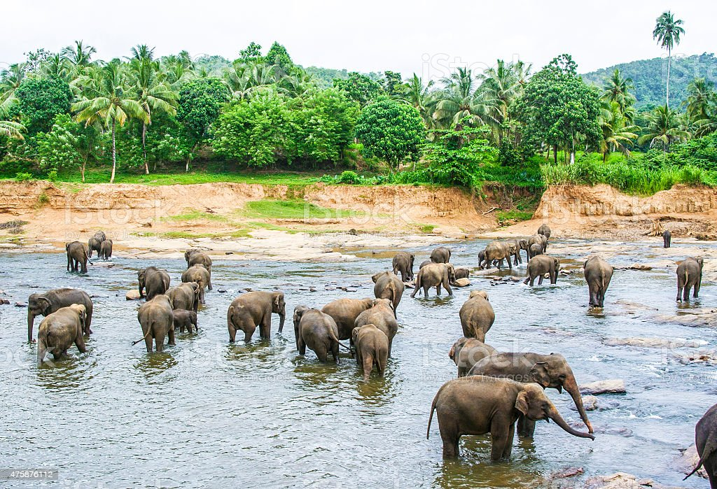 Elepants Bathing in River stock photo