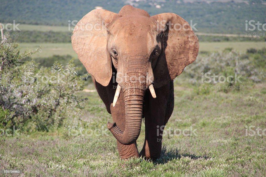 Elephant, Addo Elephant National Park stock photo