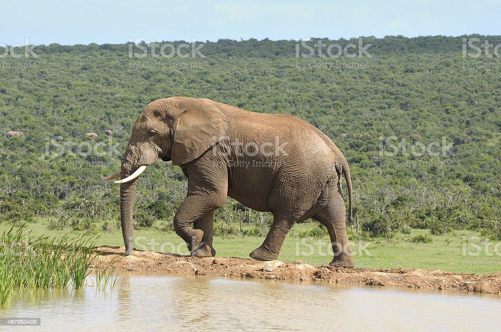 Elephant, Addo Elephant National park, South Africa stock photo