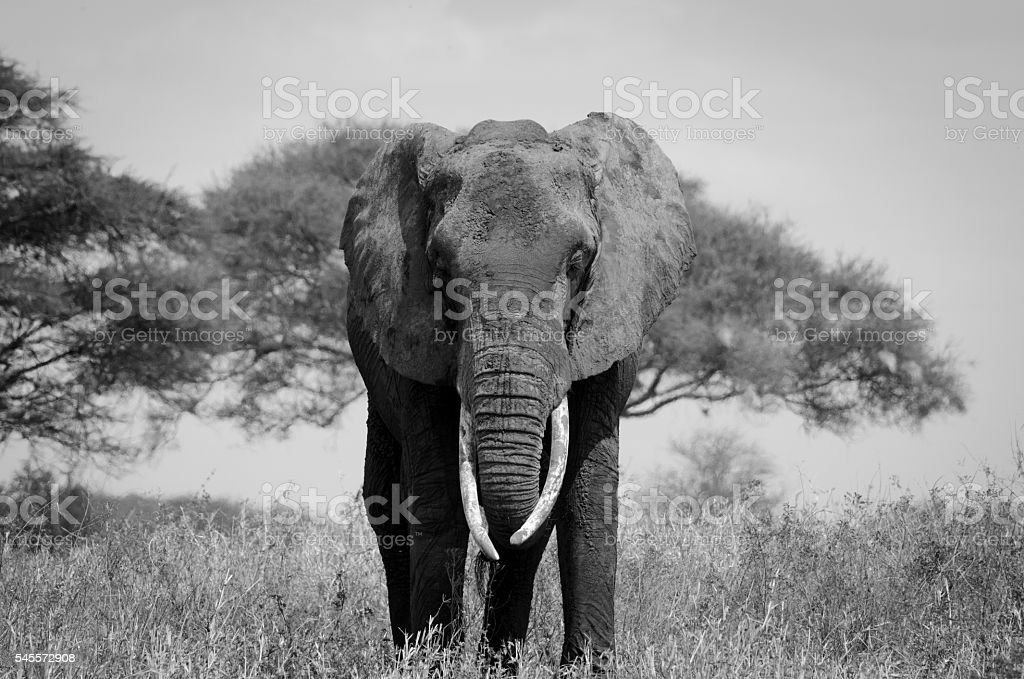 Elephant Africa Black and White stock photo