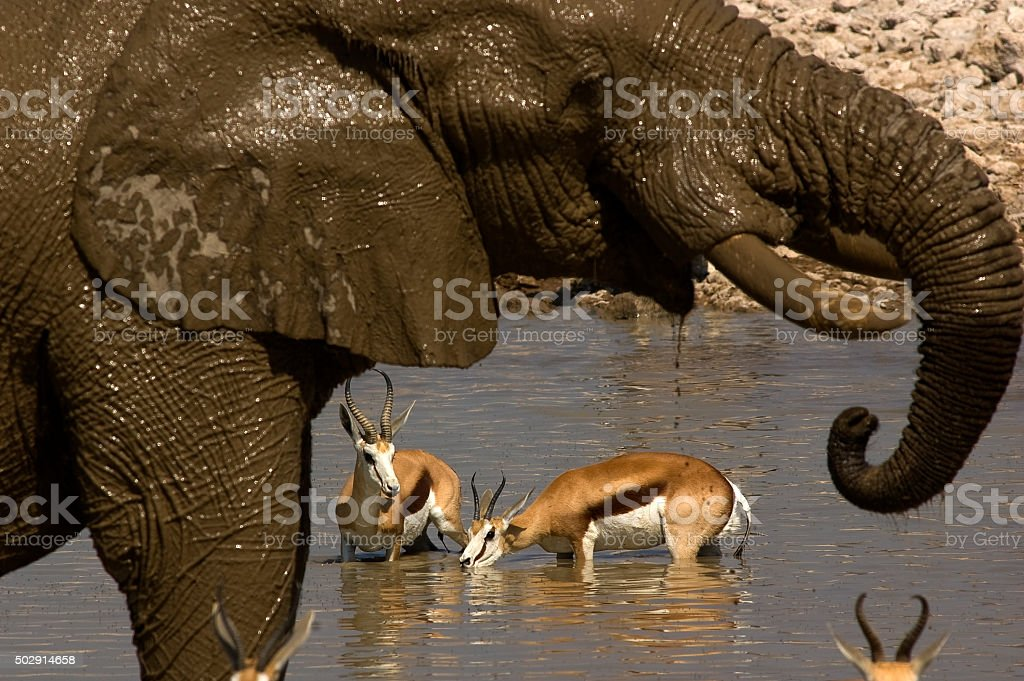 Elephant after a bath at Okaukuejo waterhole, Etosha National Park stock photo