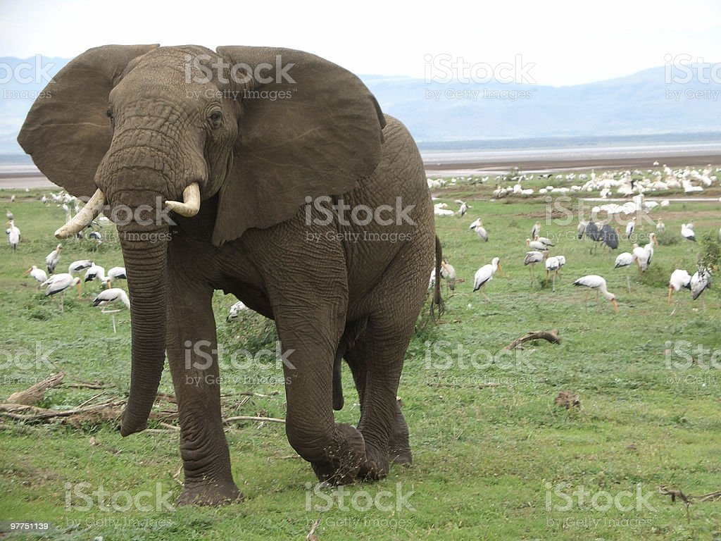 Elephant and birds in Africa stock photo