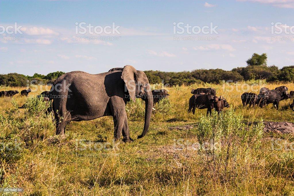 Elephant and Buffalo in the Savuti Marsh, Okavango Delta, Botswana stock photo
