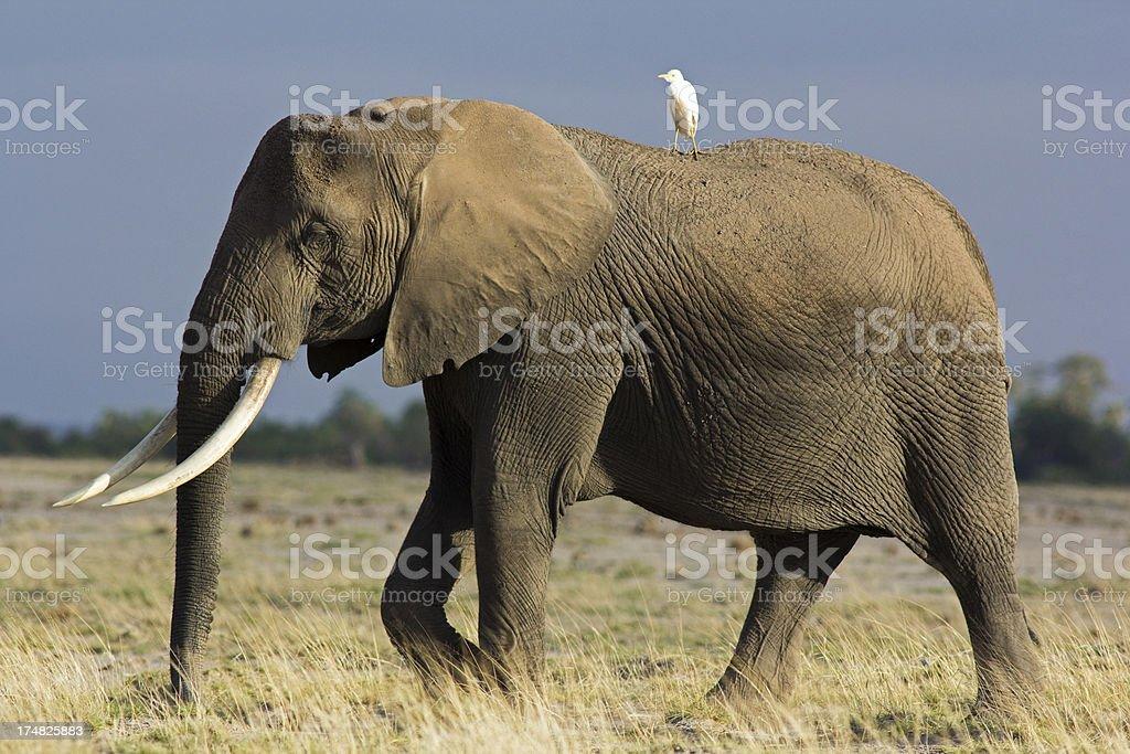 Elephant and egrit stock photo