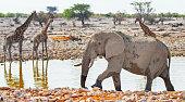 Elephant and giraffe at a waterhole in Etosha