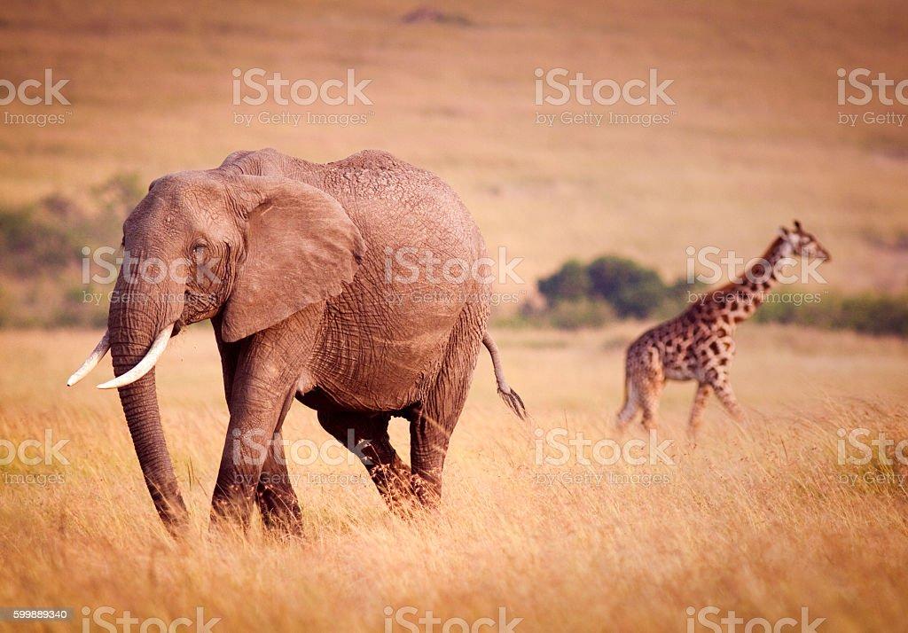 Elephant and Giraffe stock photo