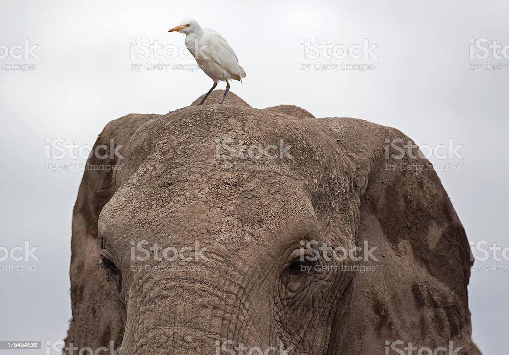 Elephant and Great Egret stock photo