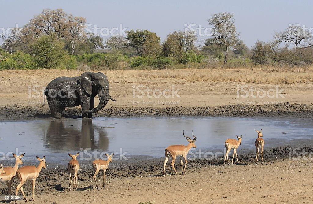 Elephant and impala antelope at a muddy water pan stock photo