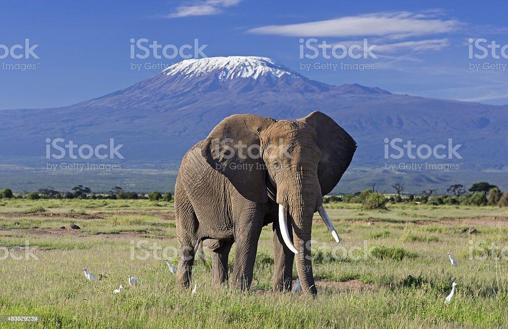 Elephant and Kilimanjaro stock photo