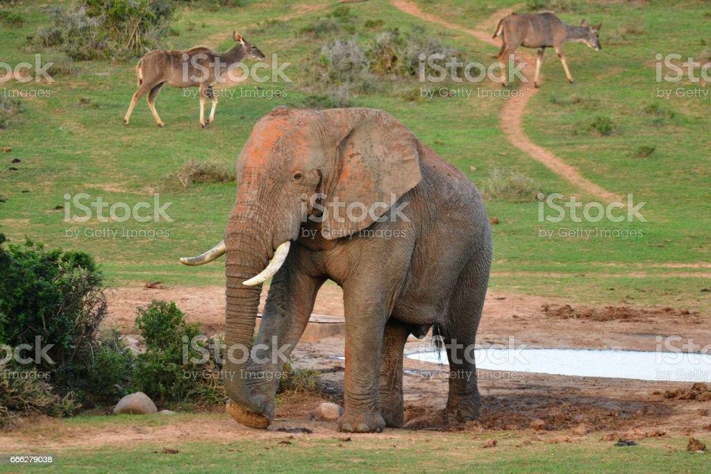 Elephant and kudus at water hole stock photo