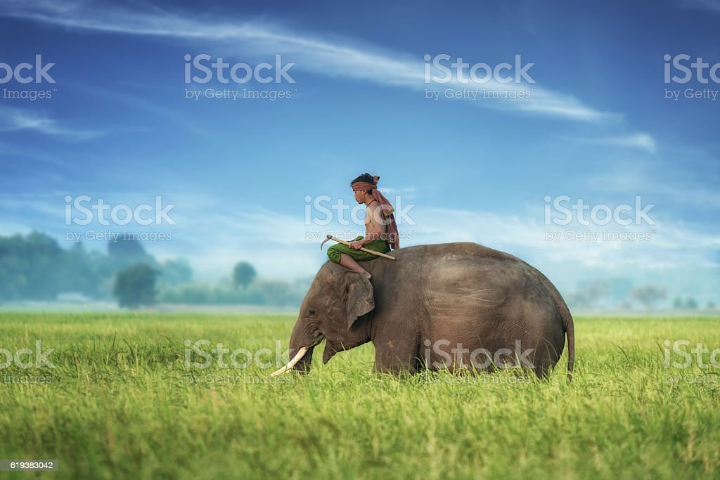 Elephant and mahout in rice field with blue sky. stock photo