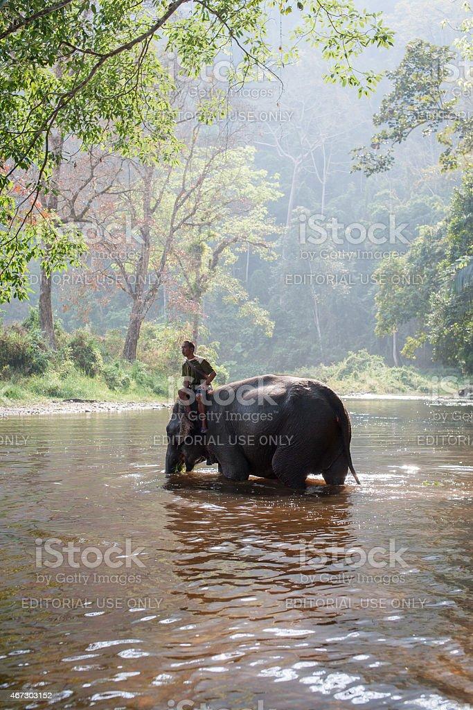 Éléphants dans la rivière et un cornac photo libre de droits