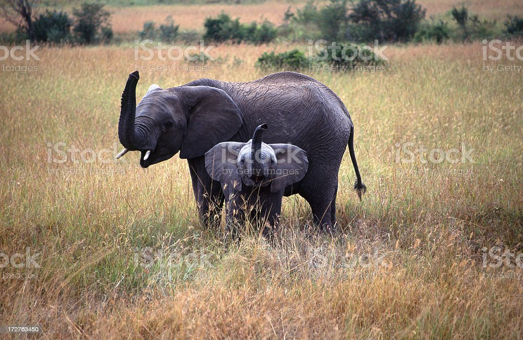 Elephant and youngster royalty-free stock photo